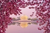 18082501-dawn-at-the-jefferson-memorial-during-the-cherry-blossom-festival-washington-dc